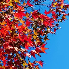 秋、赤く、黄金に輝く